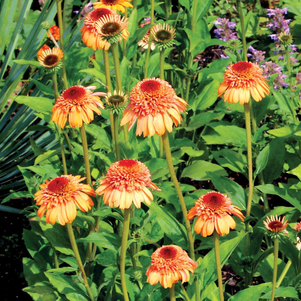 Echinacea Purpurea Supreme Cantaloupe J Parker Dutch Bulbs Wybierz z szerokiej gamy podobnych scen. echinacea purpurea supreme cantaloupe