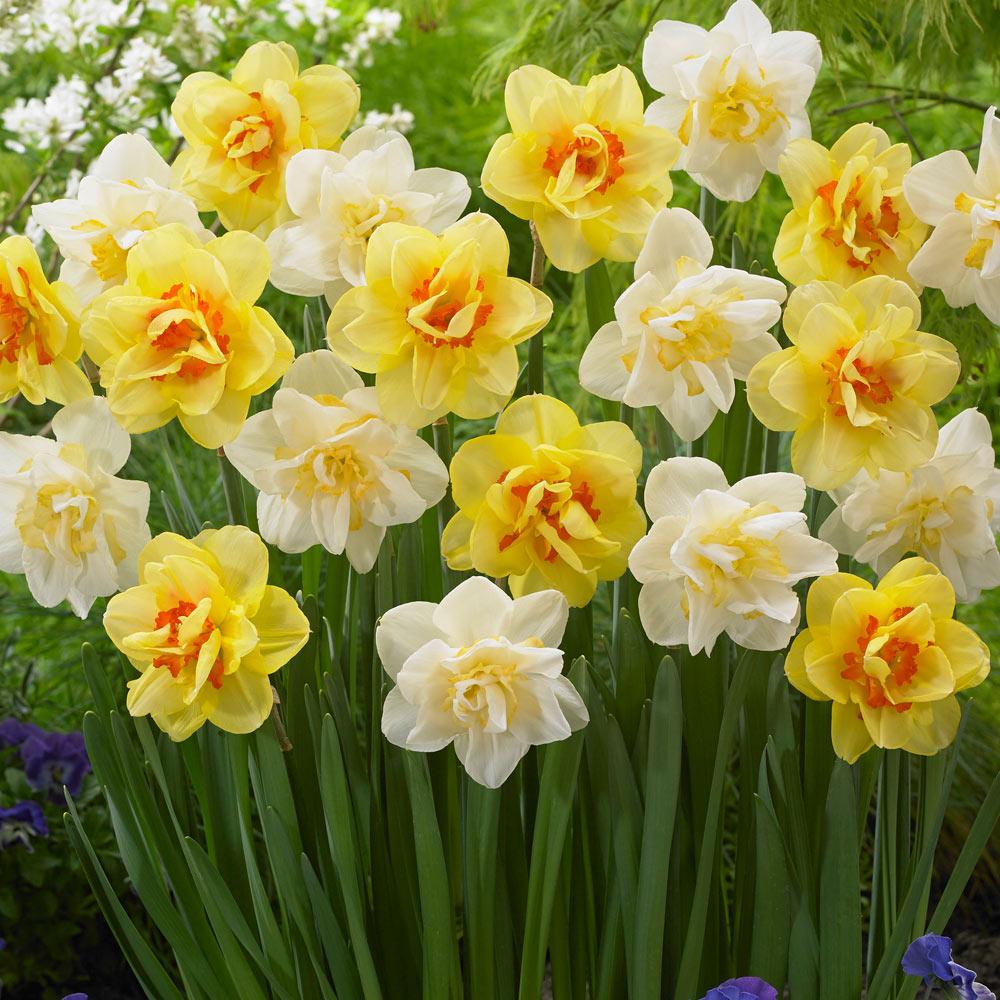 daffodil - photo #11