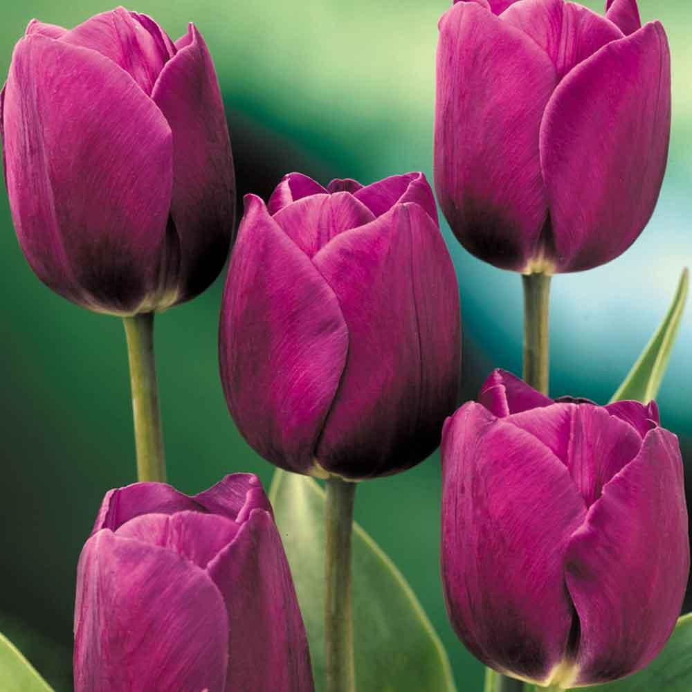 PURPLE PRINCE Plants, Seeds & Bulbs Seeds & Bulbs SINGLE EARLY Triumph Tulip Bulbs