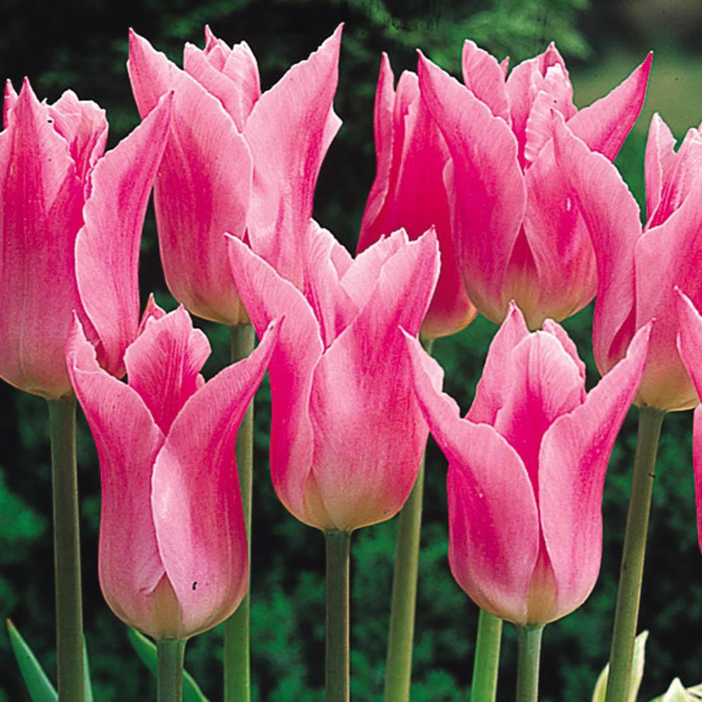 Buy Tulip China Pink Plants J Parker Dutch Bulbs