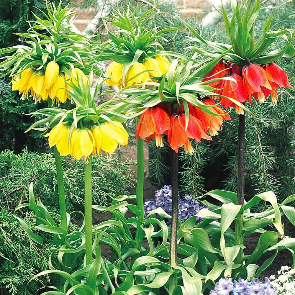 Shop Fritillaria Lutea J Parker Dutch Bulbs