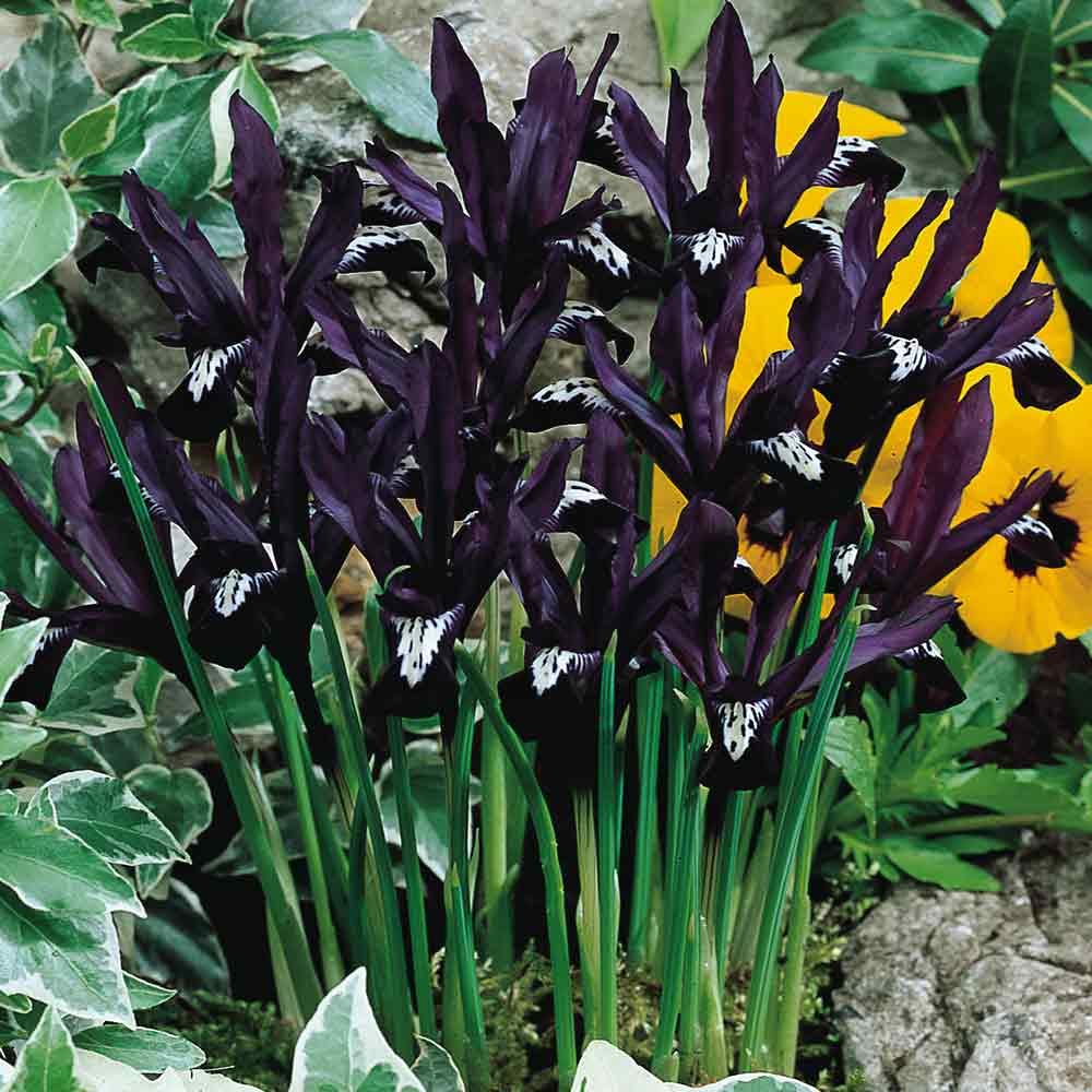 Iris reticulata 1000523