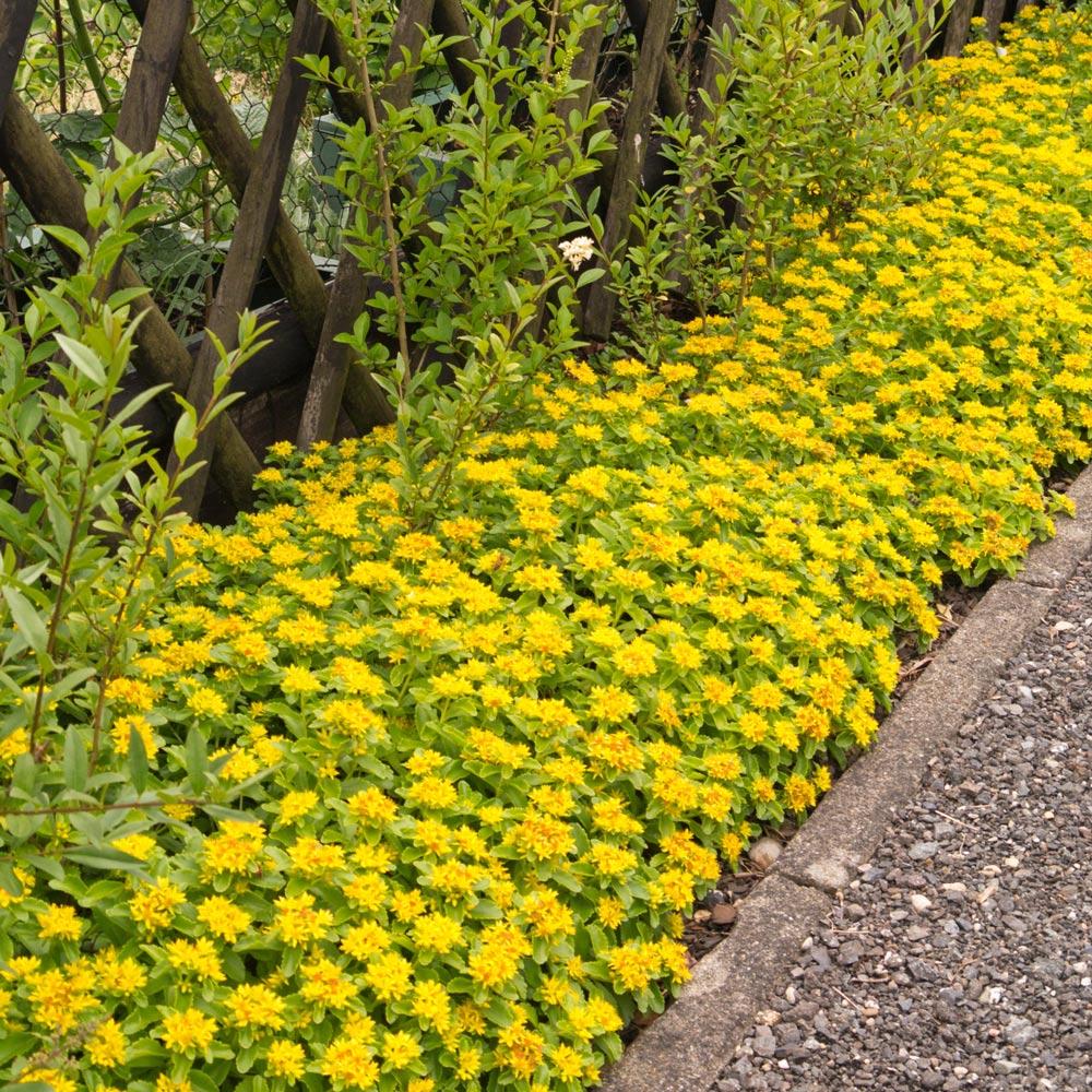 Buy Sedum Kamtschaticum Plants J Parker Dutch Bulbs
