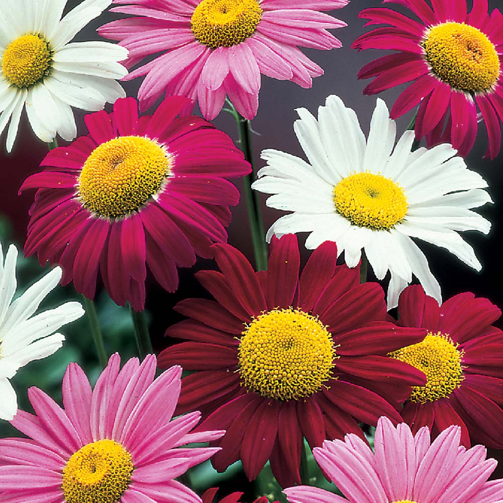 Pyrethrum Mixed Mirror Garden Offers