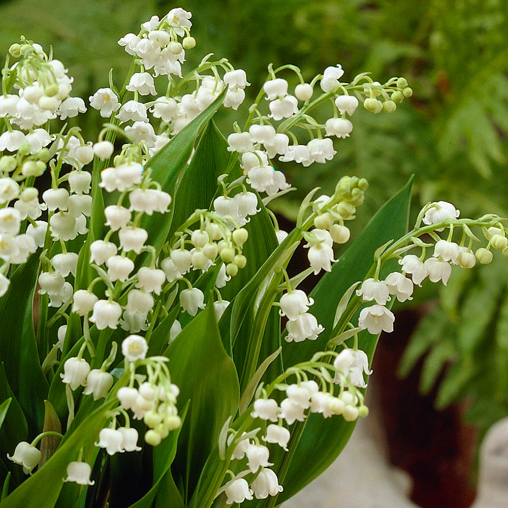 Buy lily of the valley plants j parker dutch bulbs lily of the valley izmirmasajfo