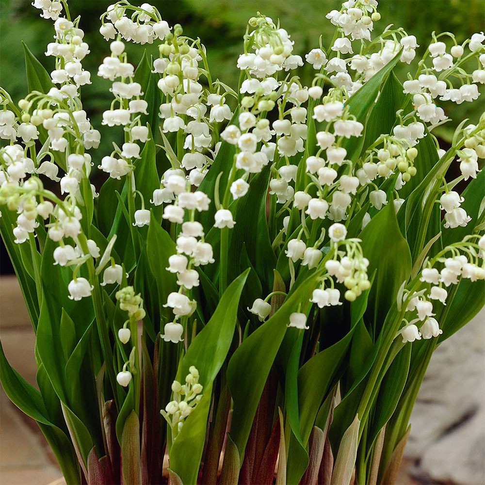 Buy Lily Of The Valley Plants J Parker Dutch Bulbs