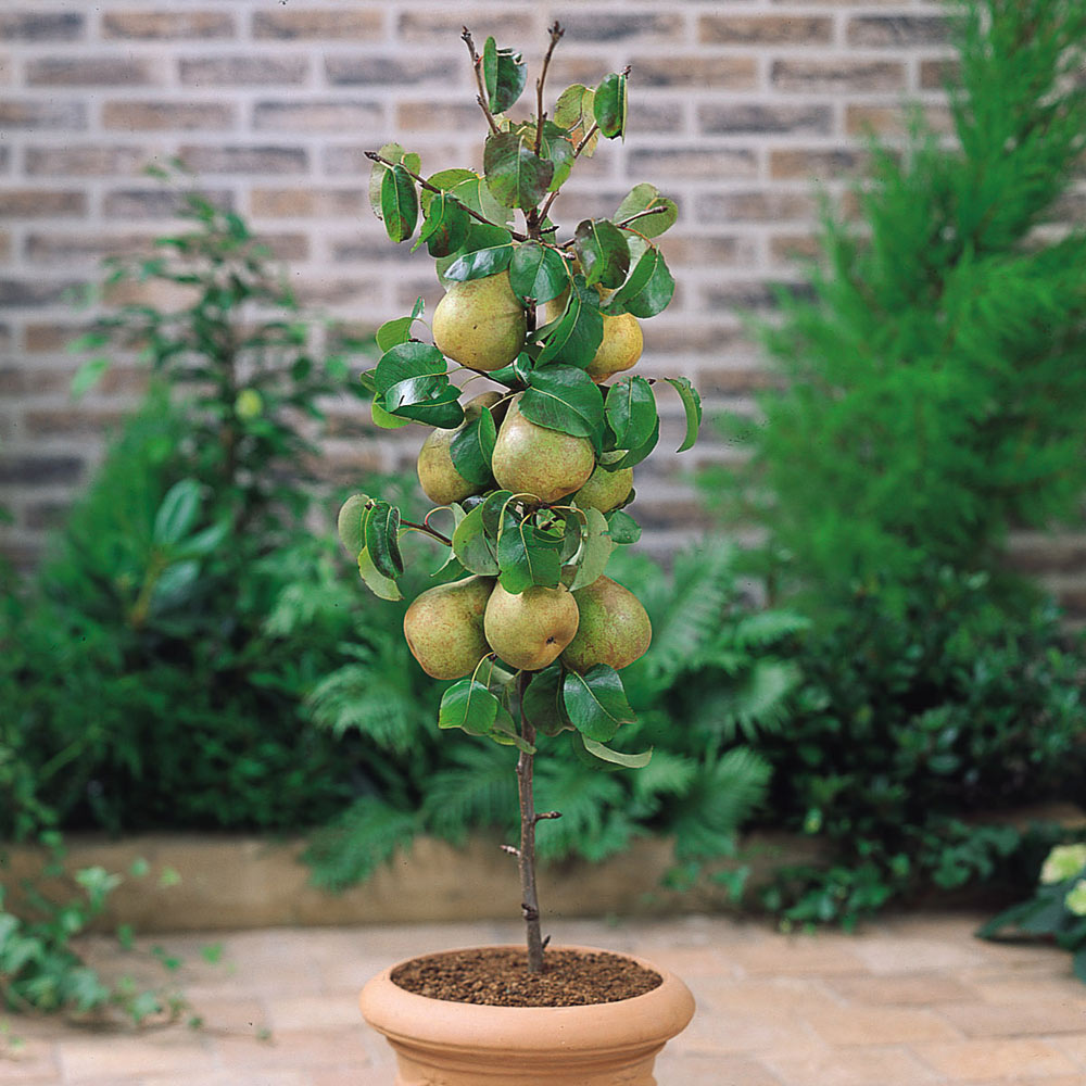 Miniature Patio Fruit Trees Collection.