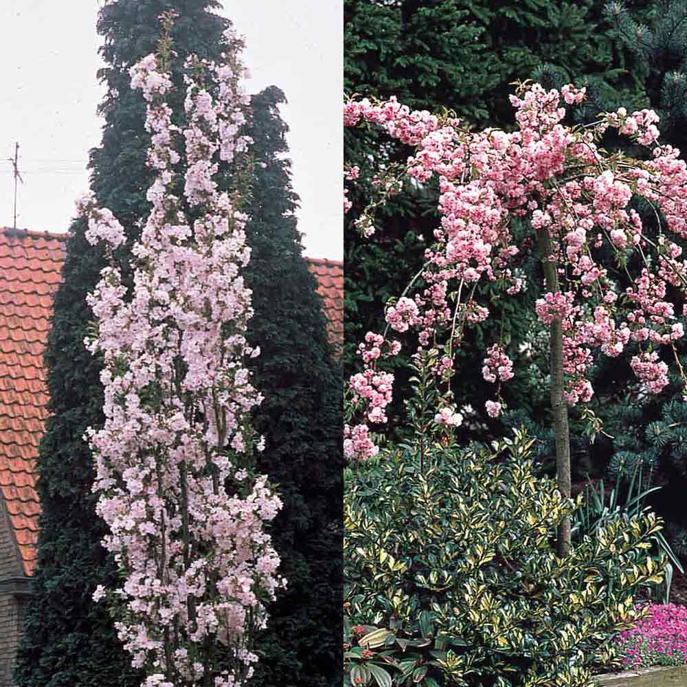 Buy Prunus Flowering Cherry Collection J Parker Dutch Bulbs