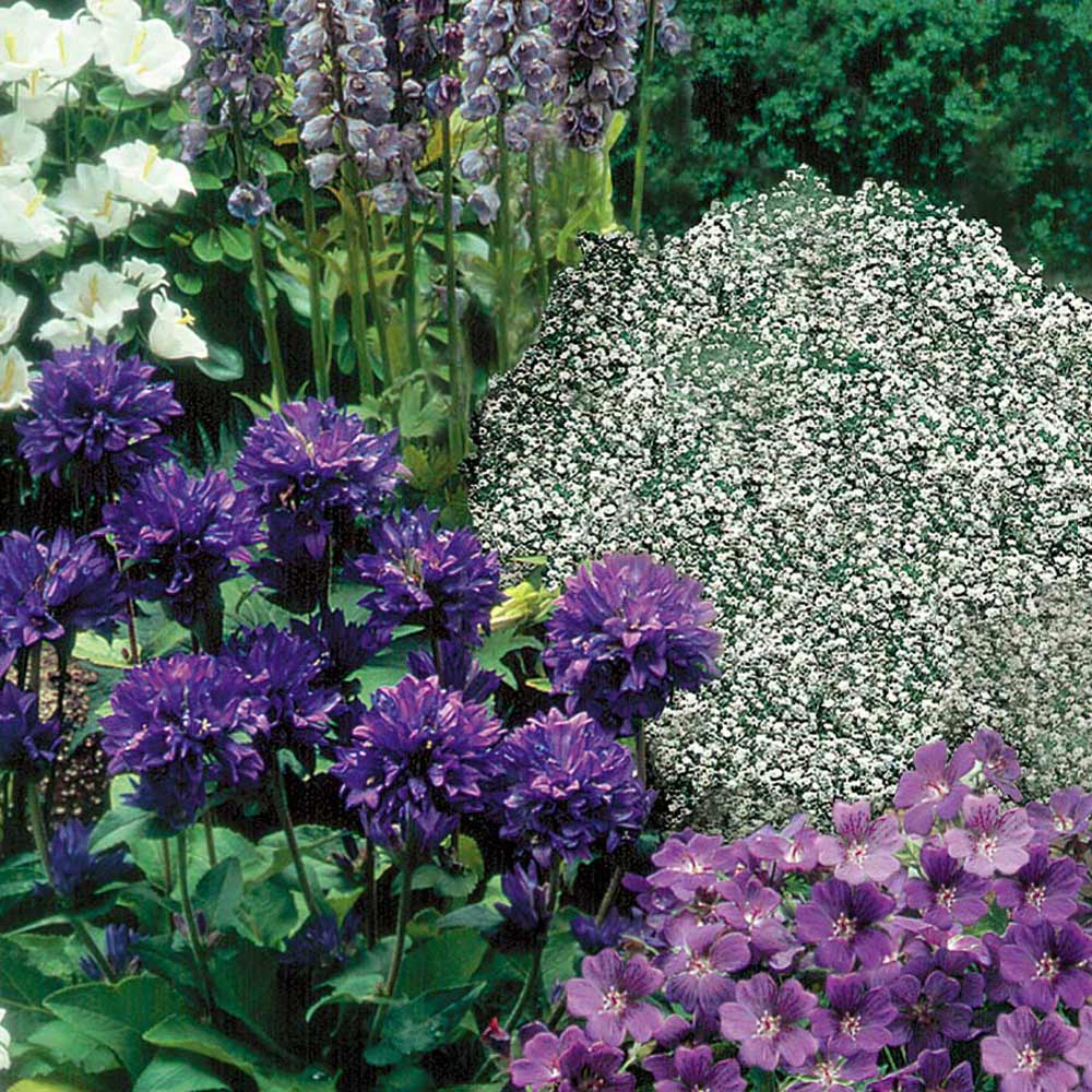 Buy Blue And White Mixed Perennial Plants J Parkers