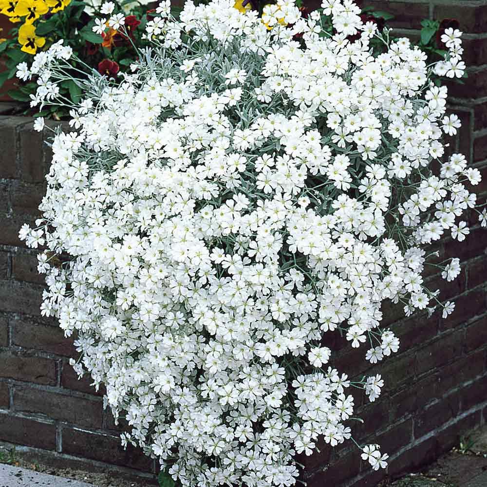 Buy Cerastium Snow In Summer J Parker Dutch Bulbs