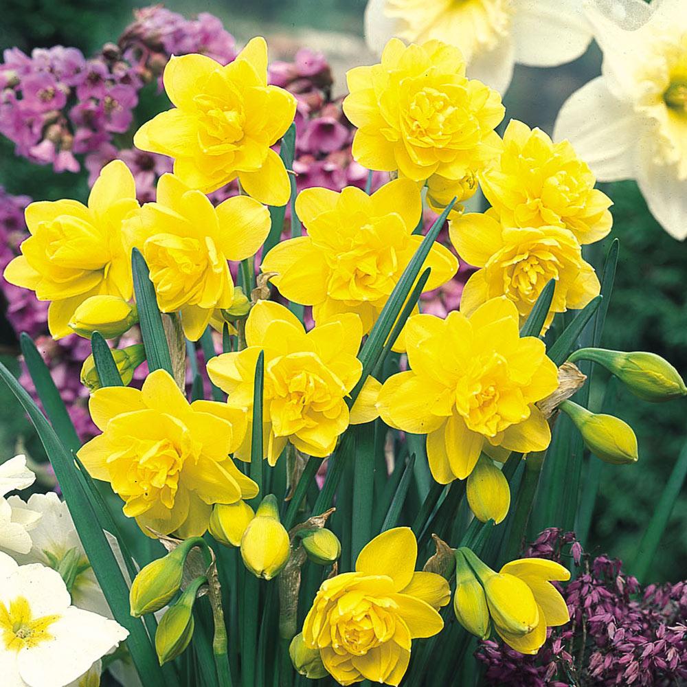 Daffodil Golden Ducat J Parker Dutch Bulbs