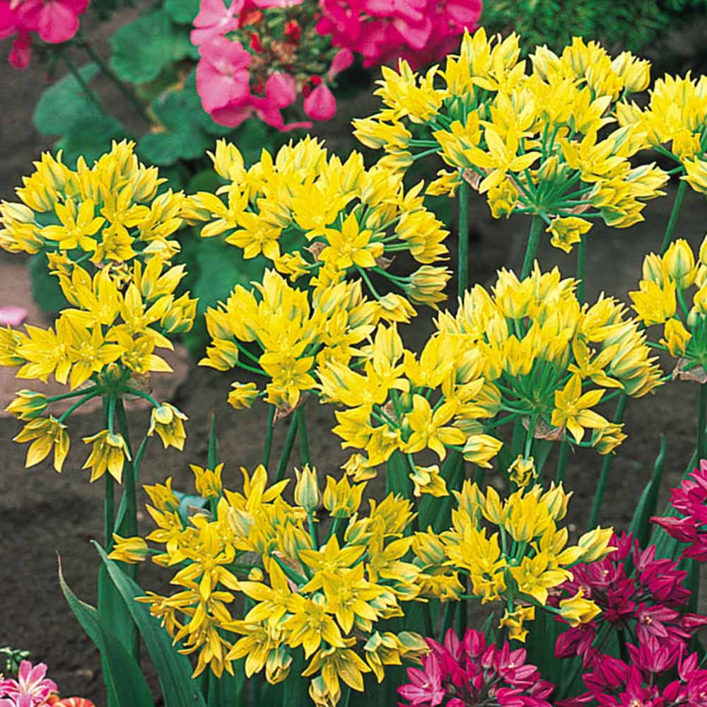 Buy Allium Moly Bulbs J Parker Dutch Bulbs