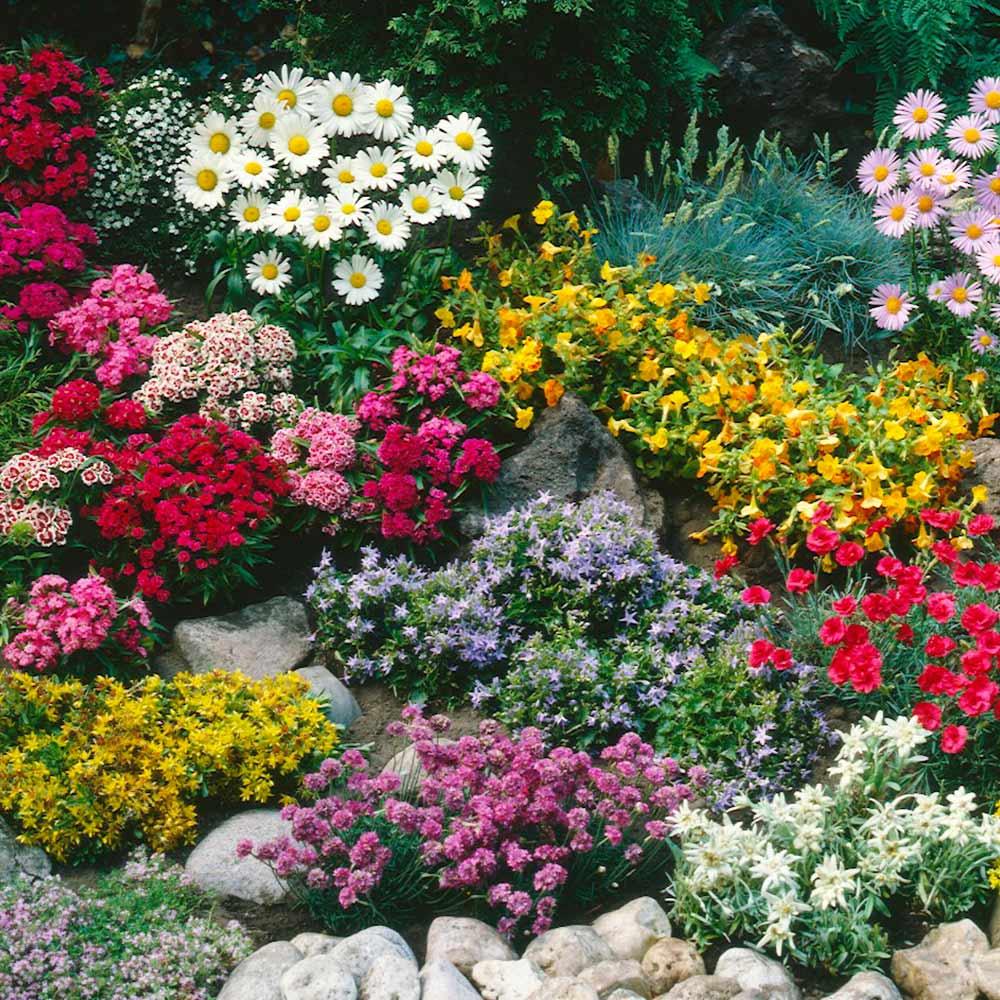 Buy Ground Cover Perennials J Parker Dutch Bulbs