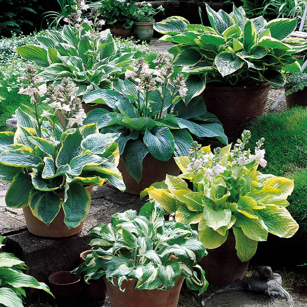 Buy Hosta Plants J Parker Dutch Bulbs
