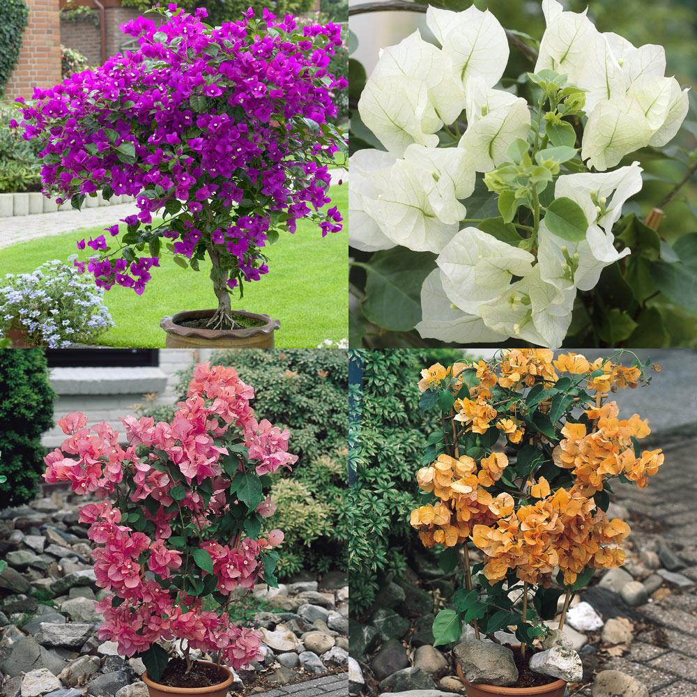 Buy Bougainvillea Plant Collection | J Parker\u0027s