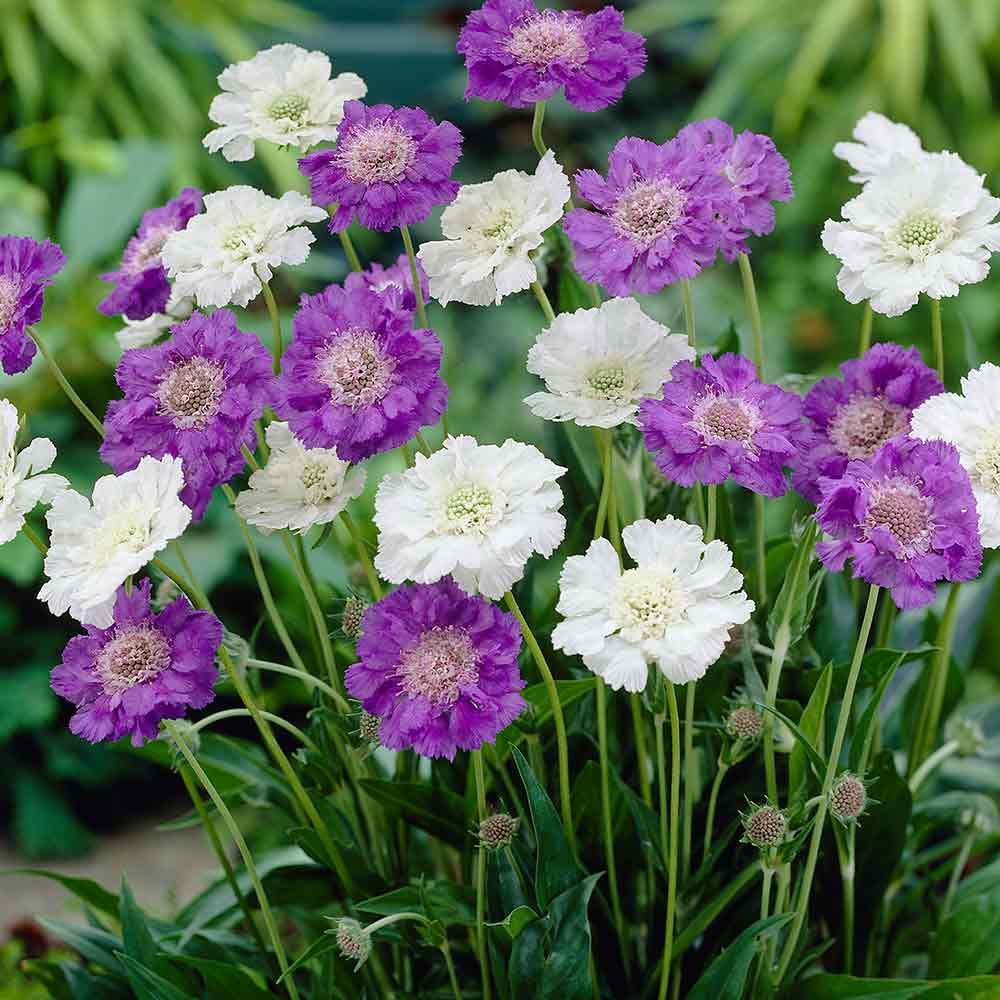 Scabiosa Perfecta White J Parker Dutch Bulbs