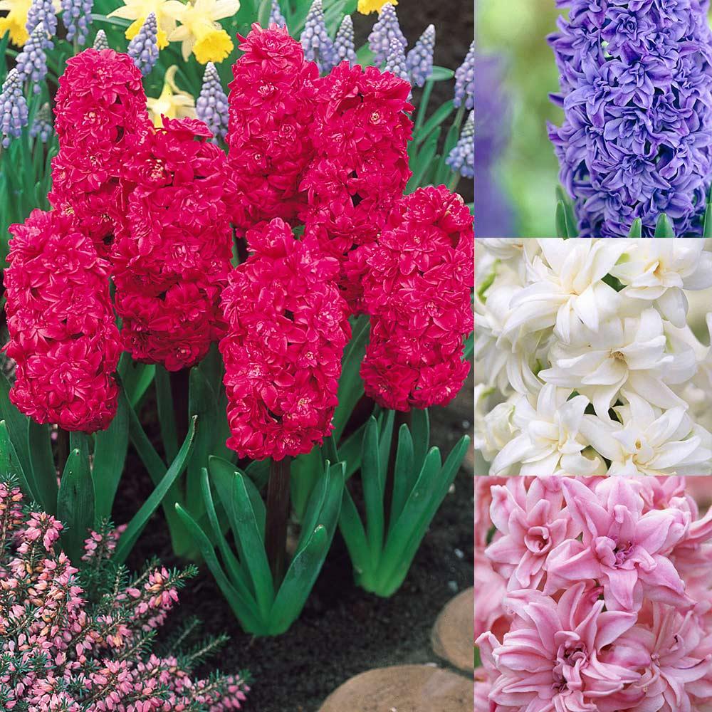 Buy Hyacinth Fragrant Double Collection J Parker Dutch Bulbs