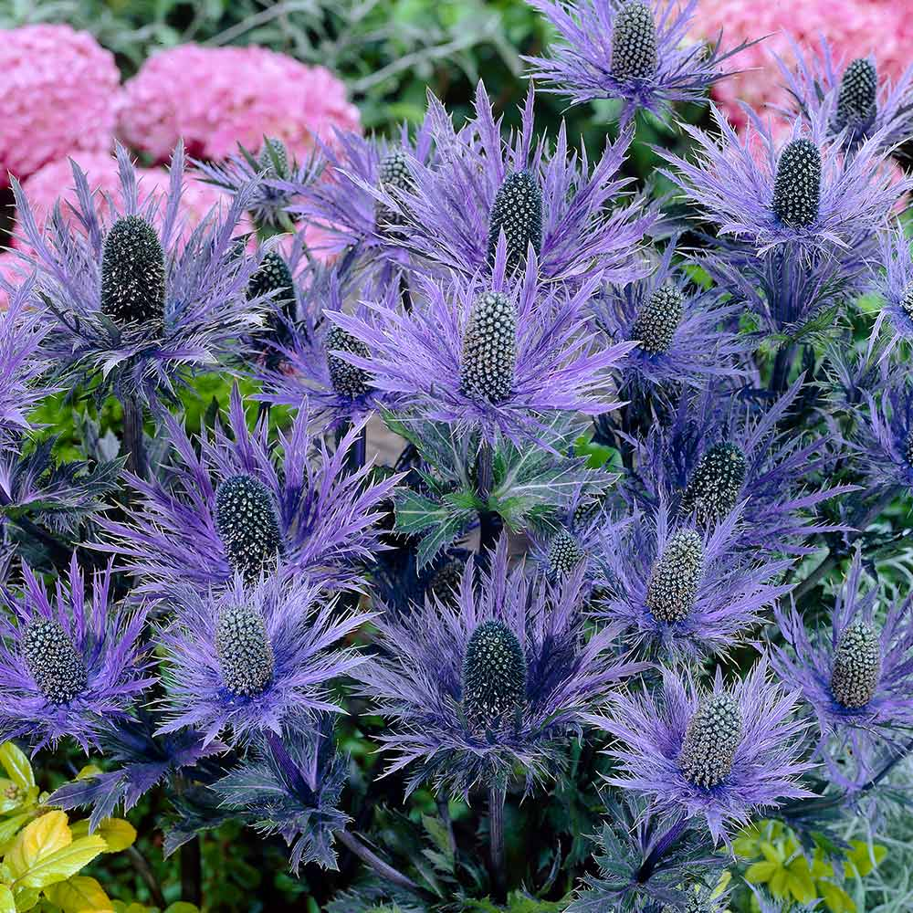 Buy Eryngium Alpinum Blue Star Plants J Parkers