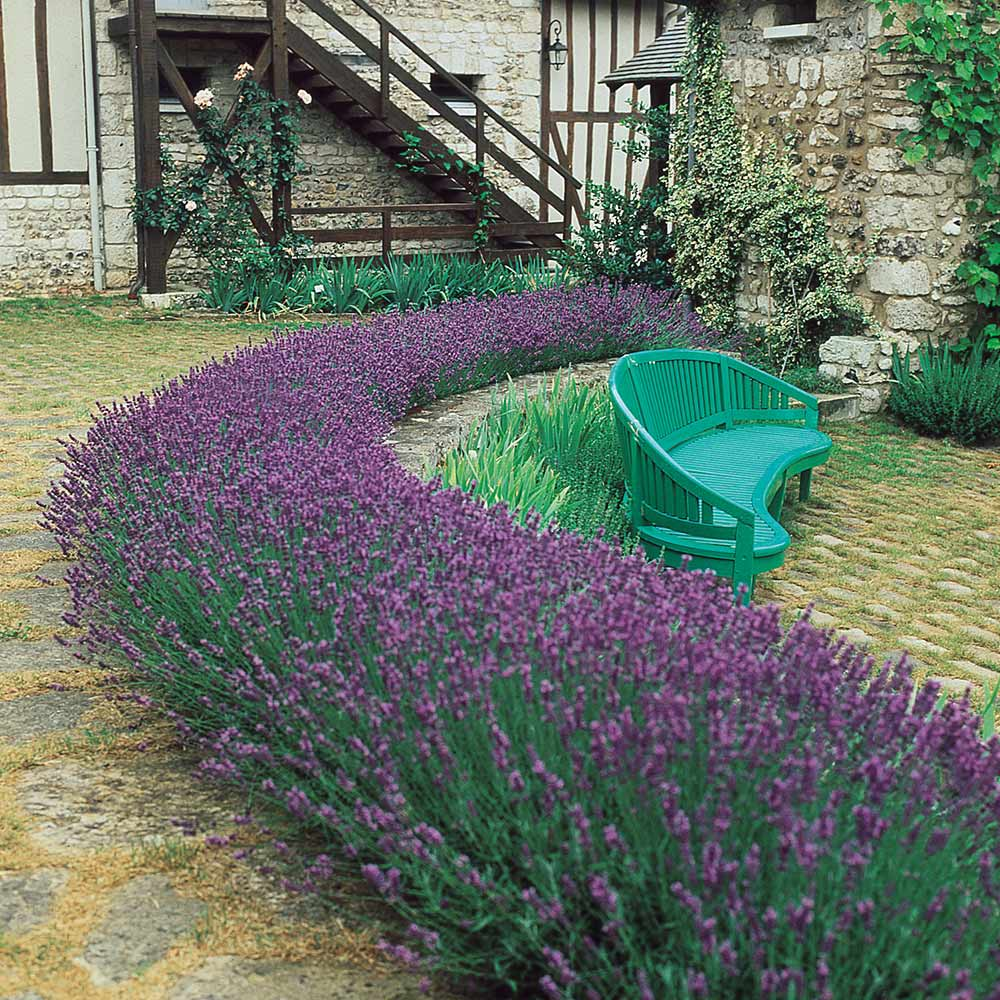 Buy Dwarf Fragrant Lavender Plants J Parker Dutch Bulbs