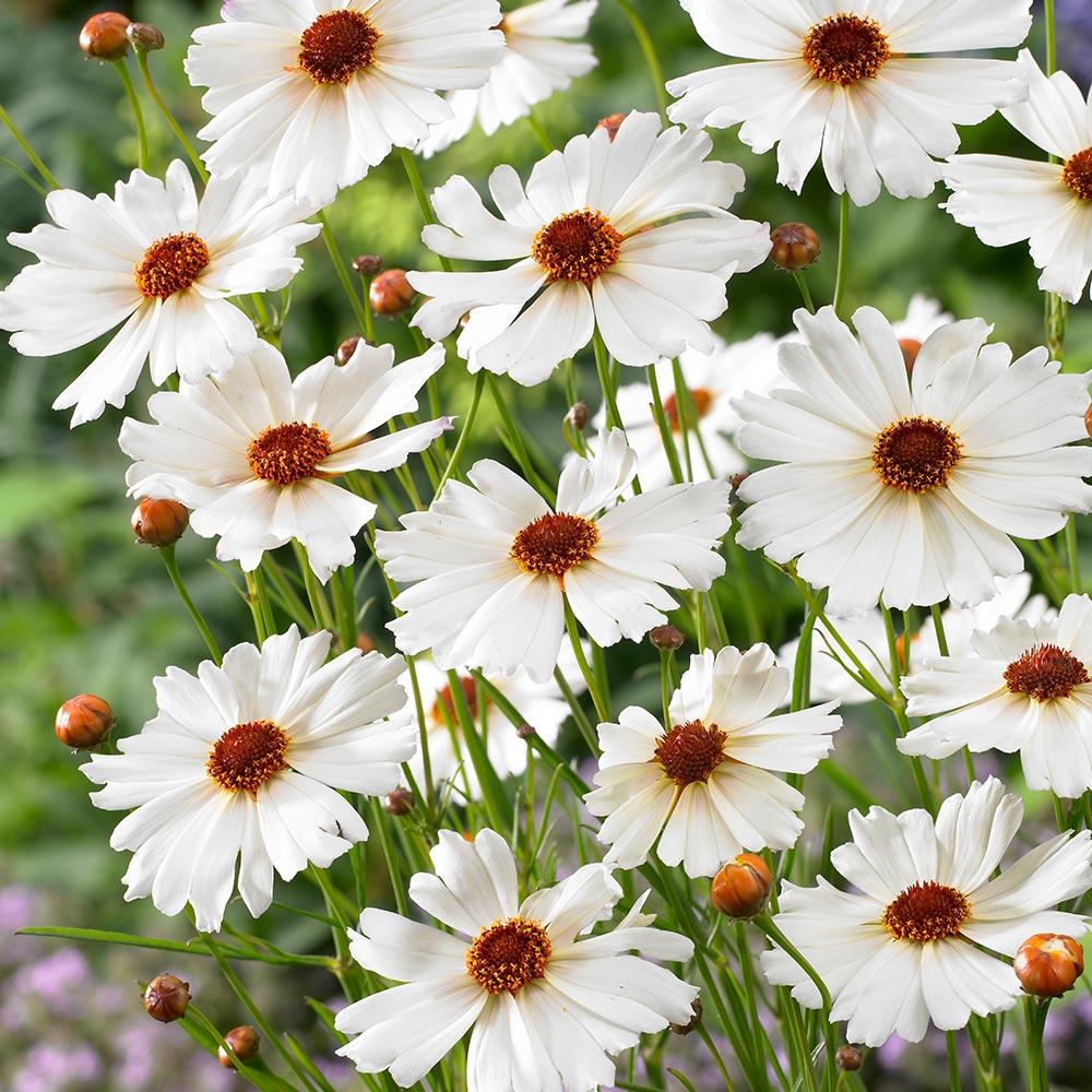 Dancing maiden coreopsis j parker dutch bulbs dancing maiden coreopsis izmirmasajfo