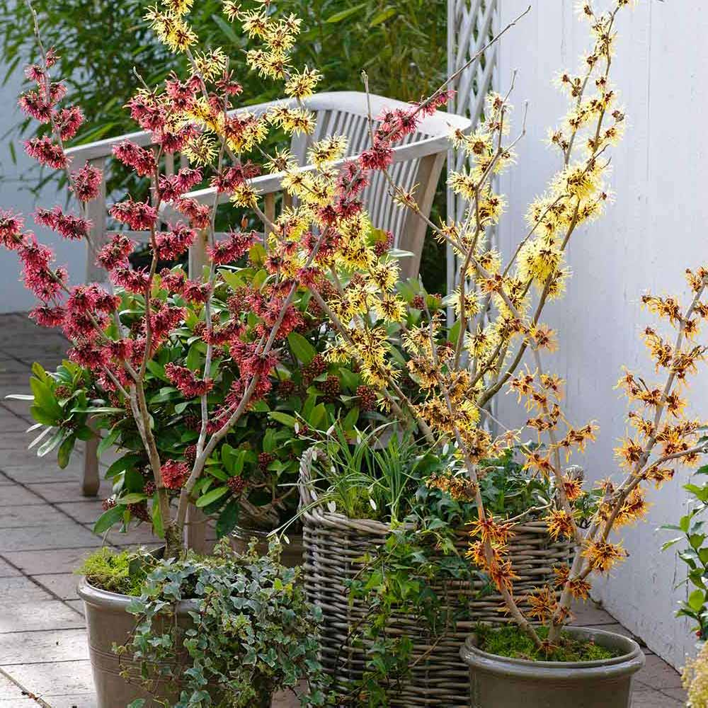 Buy Hamamelis Witch Hazel Collection J Parkers