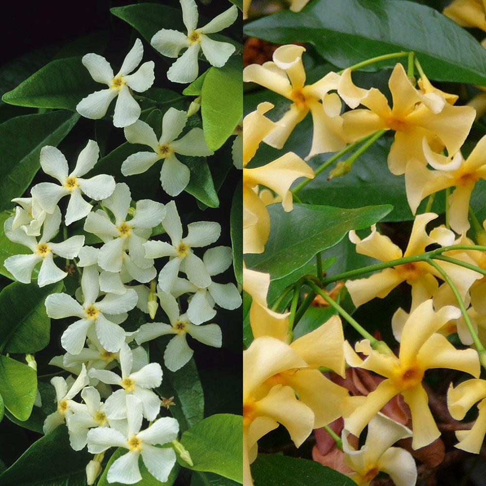 Trachelospermum Collection Star Jasmine J Parker Dutch Bulbs