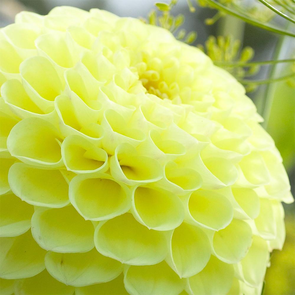Dahlia Boom Boom Yellow J Parker Dutch Bulbs