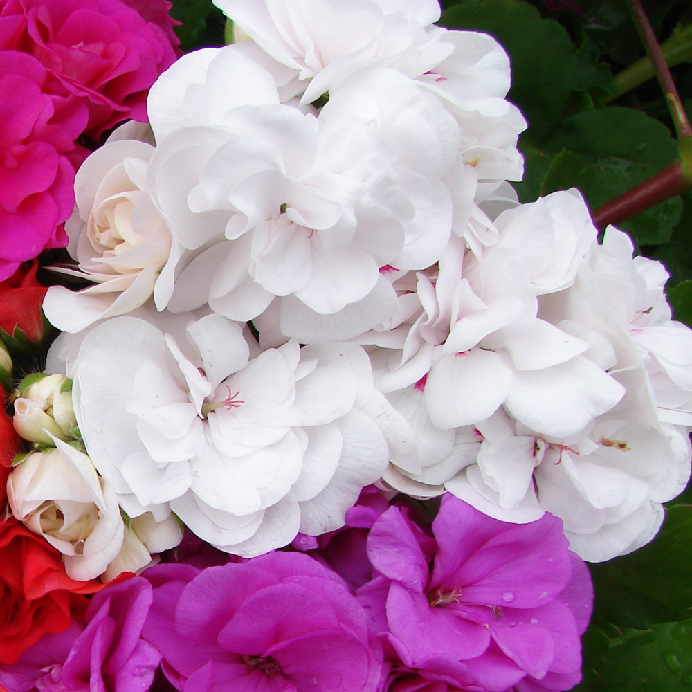 Geranium Double Trailing White Pearl Mirror Garden Offers
