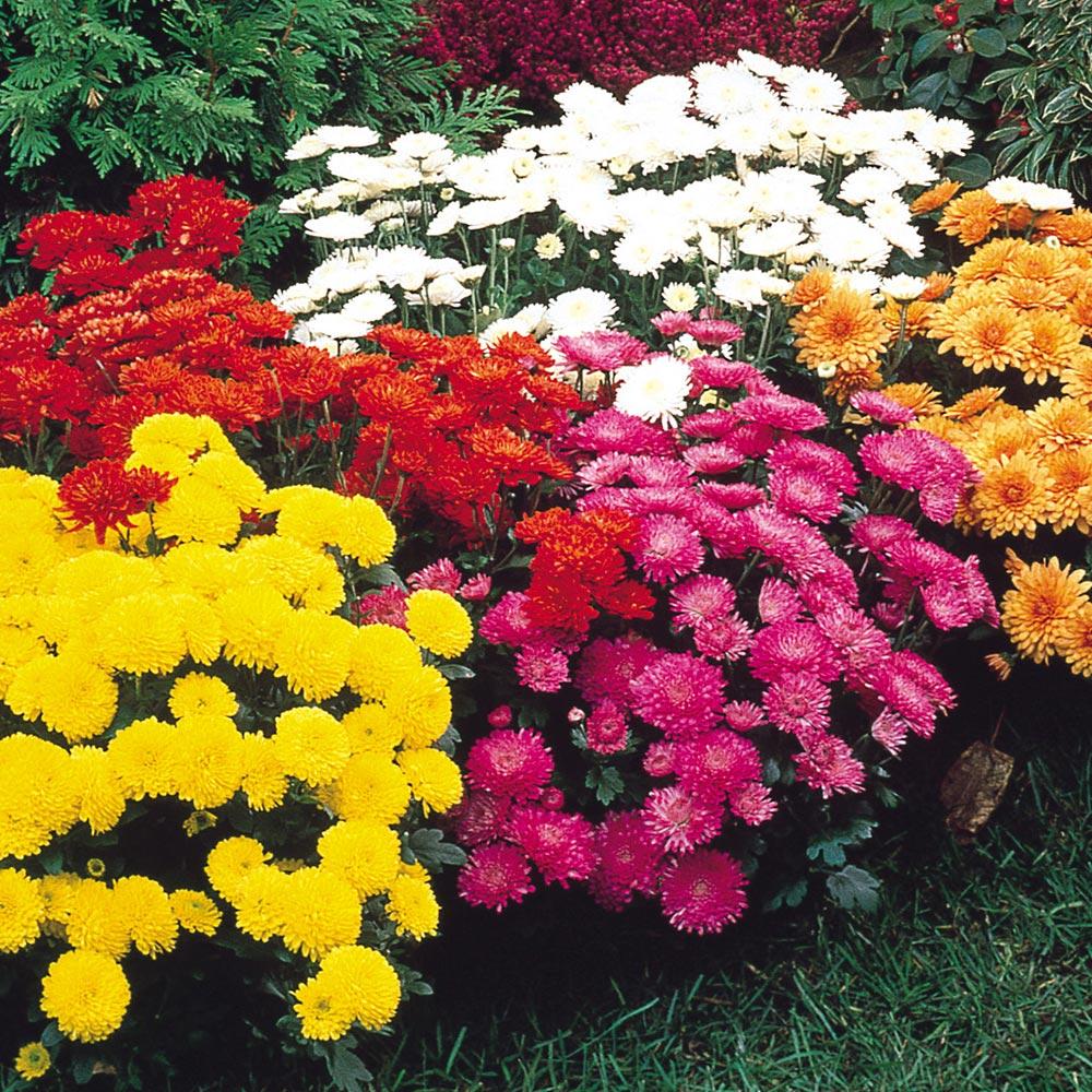Buy Chrysanthemum Hardy Garden Mums J Parkers