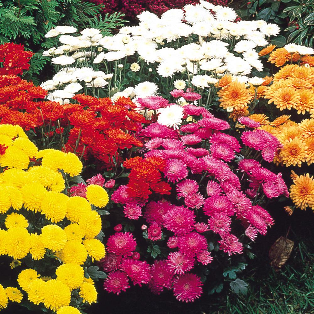 Buy chrysanthemum hardy garden mums j parkers chrysanthemum hardy garden mums izmirmasajfo
