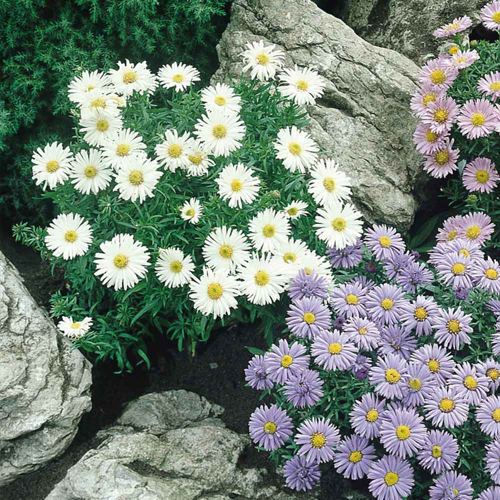 Aster Alpinus White Beauty J Parker Dutch Bulbs
