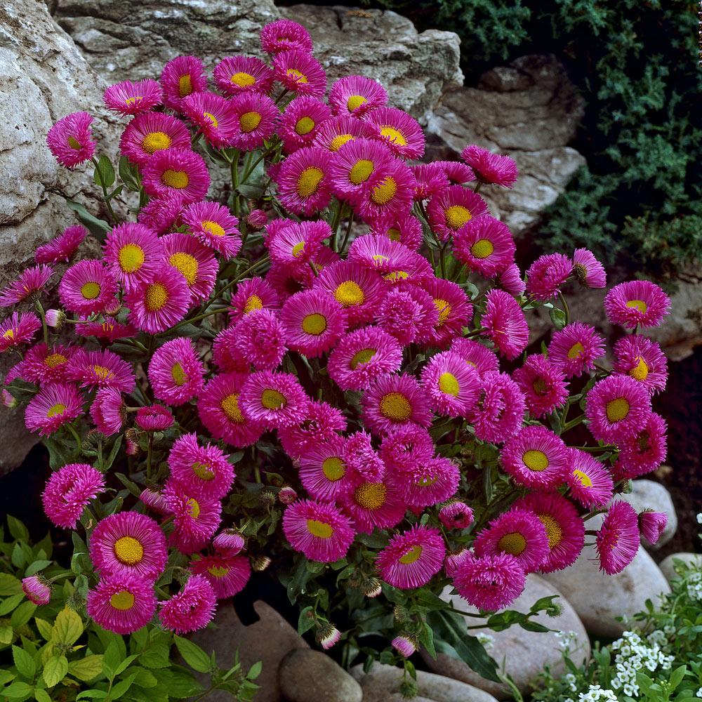 Erigeron -100 Seeds Speciosus Pink Jewel