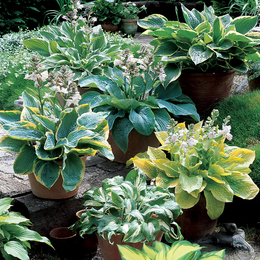 Hosta Mixed J Parker Dutch Bulbs