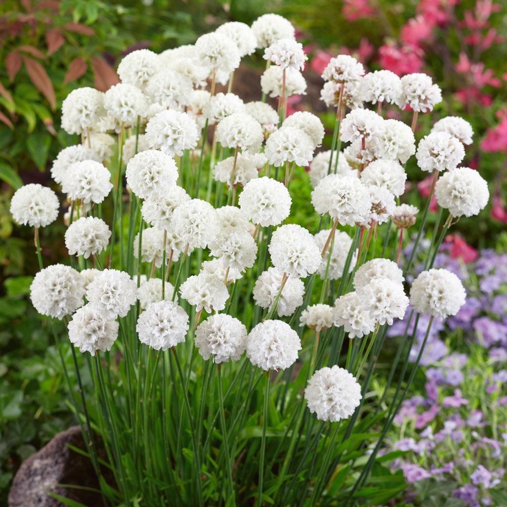 Armeria White J Parker Dutch Bulbs
