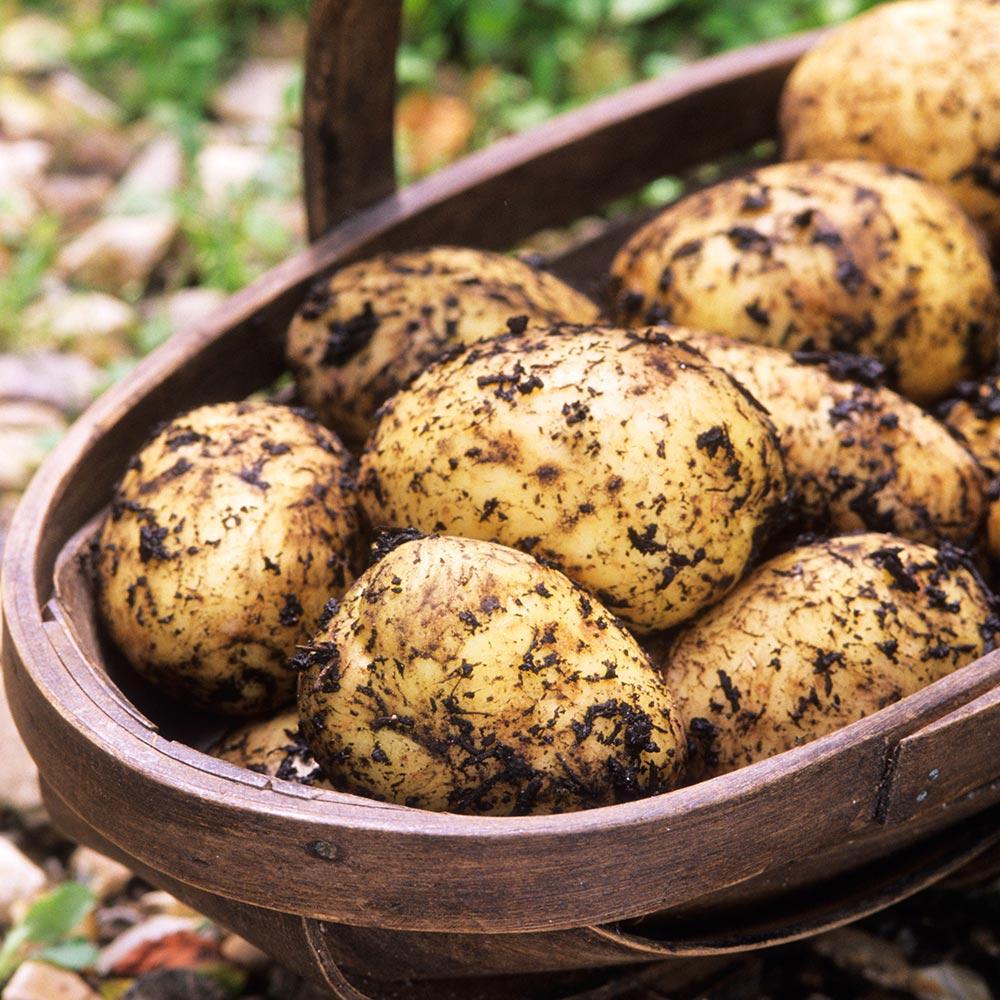 Potato Maris Peer (Second Earlies) | Mirror Garden Offers