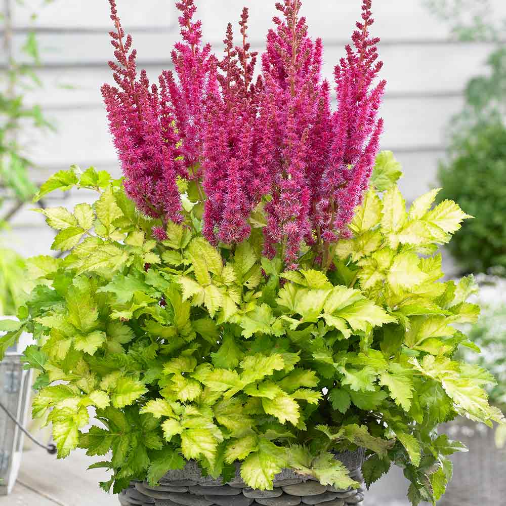 Buy Astilbe Thunder And Lightning J Parker Dutch Bulbs