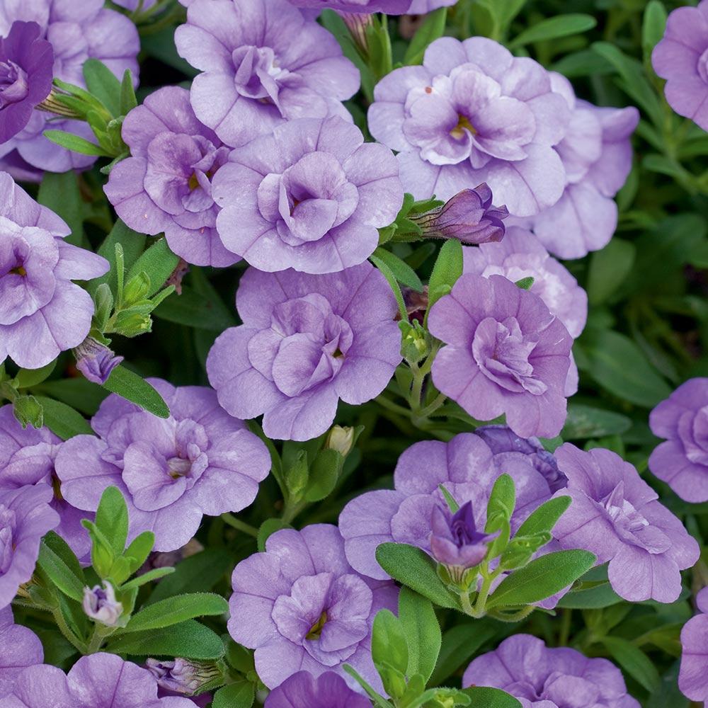 6 Trailing Calibrachoa White  Million Bells  Basket Plug Plants