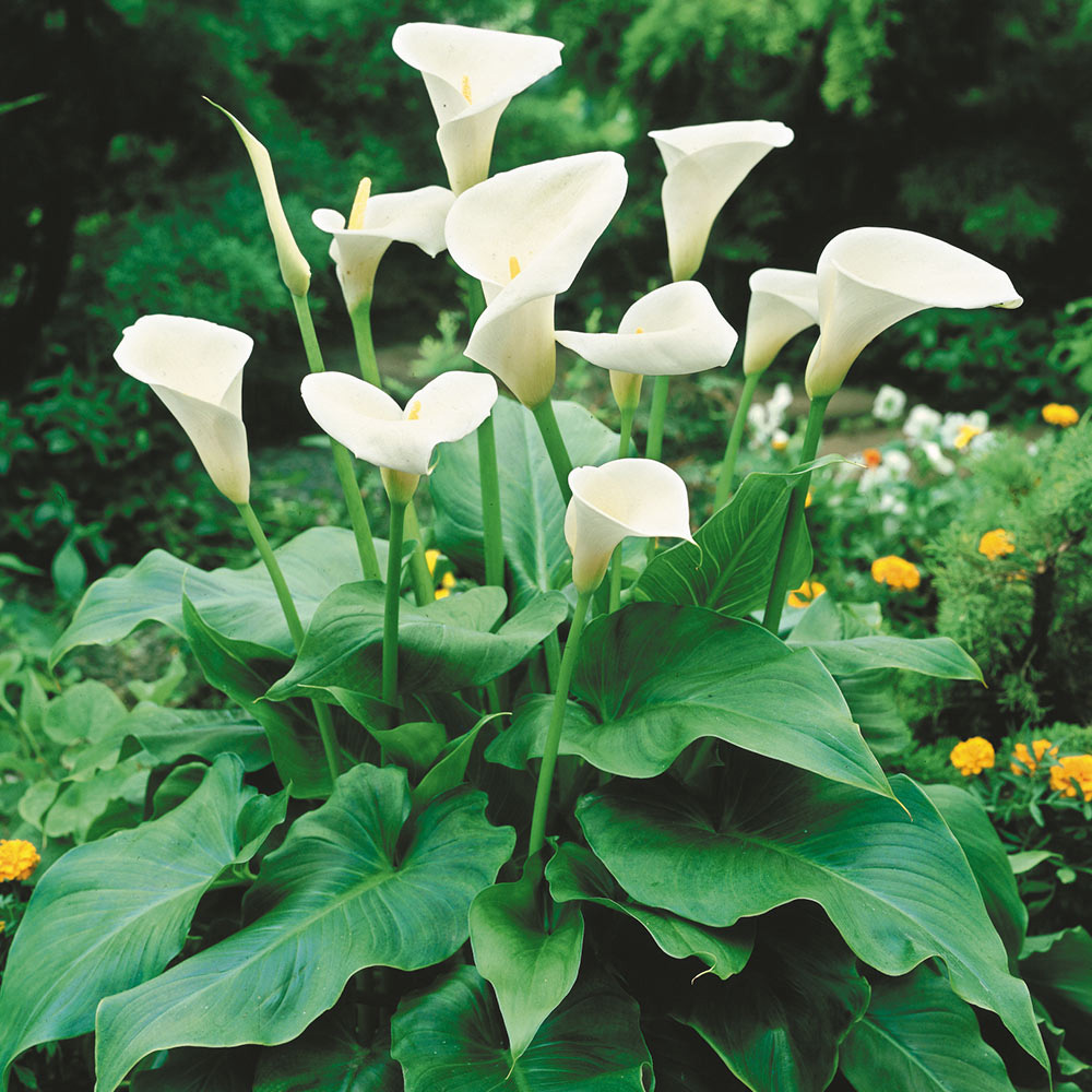 Zantedeschia Aethiopica Calla Lily J Parker Dutch Bulbs