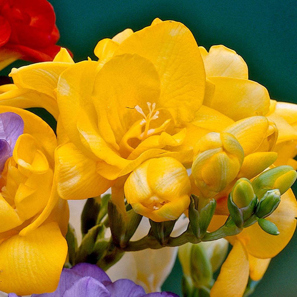 Freesia Giant Double Yellow J Parker Dutch Bulbs