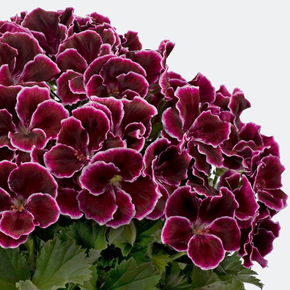 Geranium aristo black beauty j parker dutch bulbs geranium aristo black beauty izmirmasajfo