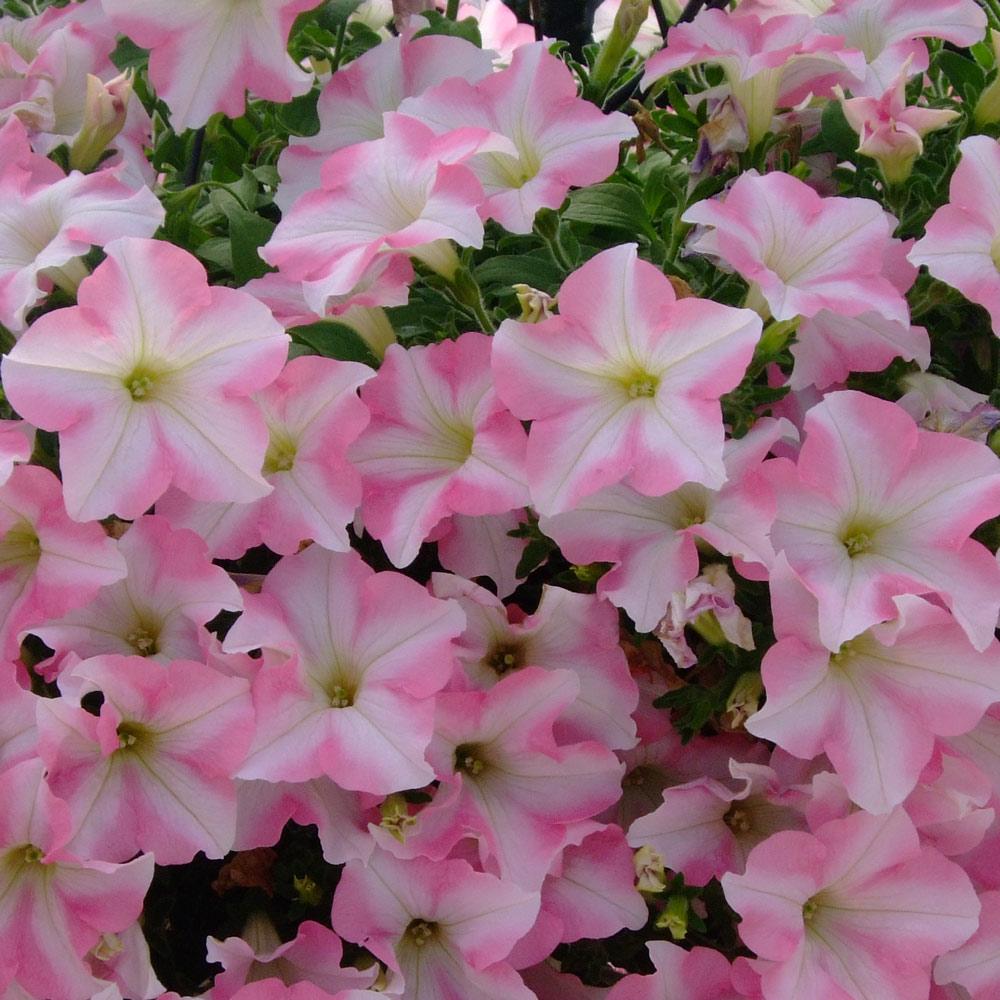 Petunia Pink Star J Parker Dutch Bulbs