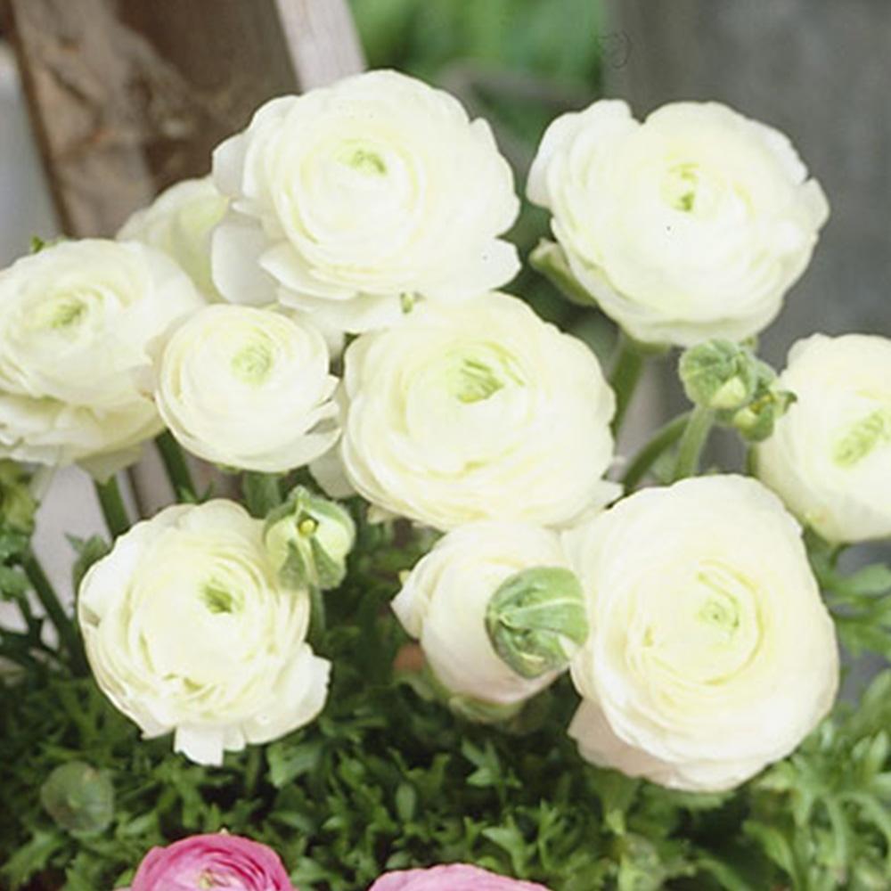 Ranunculus Tomer White J Parker Dutch Bulbs