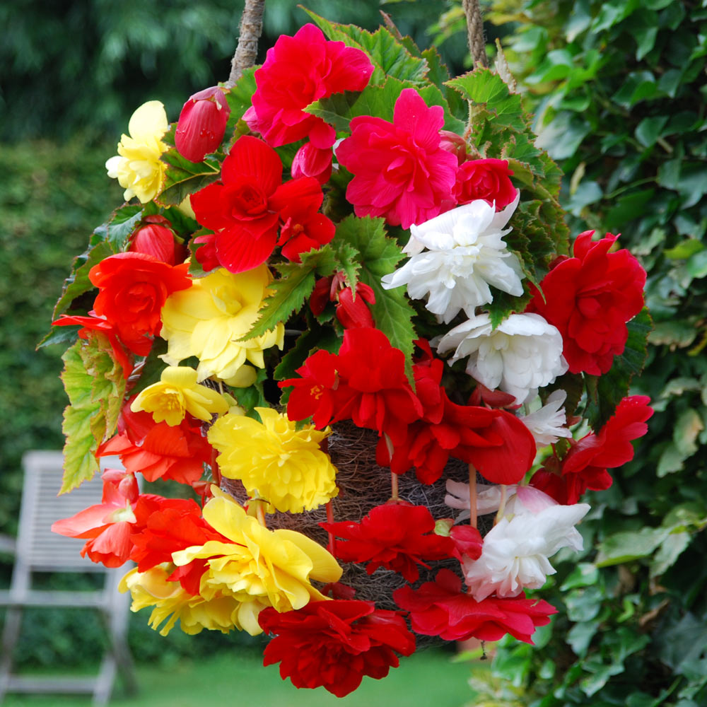 5 BEGONIA FIMBRIATA MIXED BULBS//TUBERS PERENNIAL SUMMER HANGING BASKET FLOWER