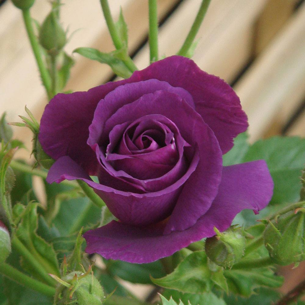 Youre Beautiful Bare Root Rose of The Year Bush Rose Collection Absolutely Fabulous Rhapsody in Blue