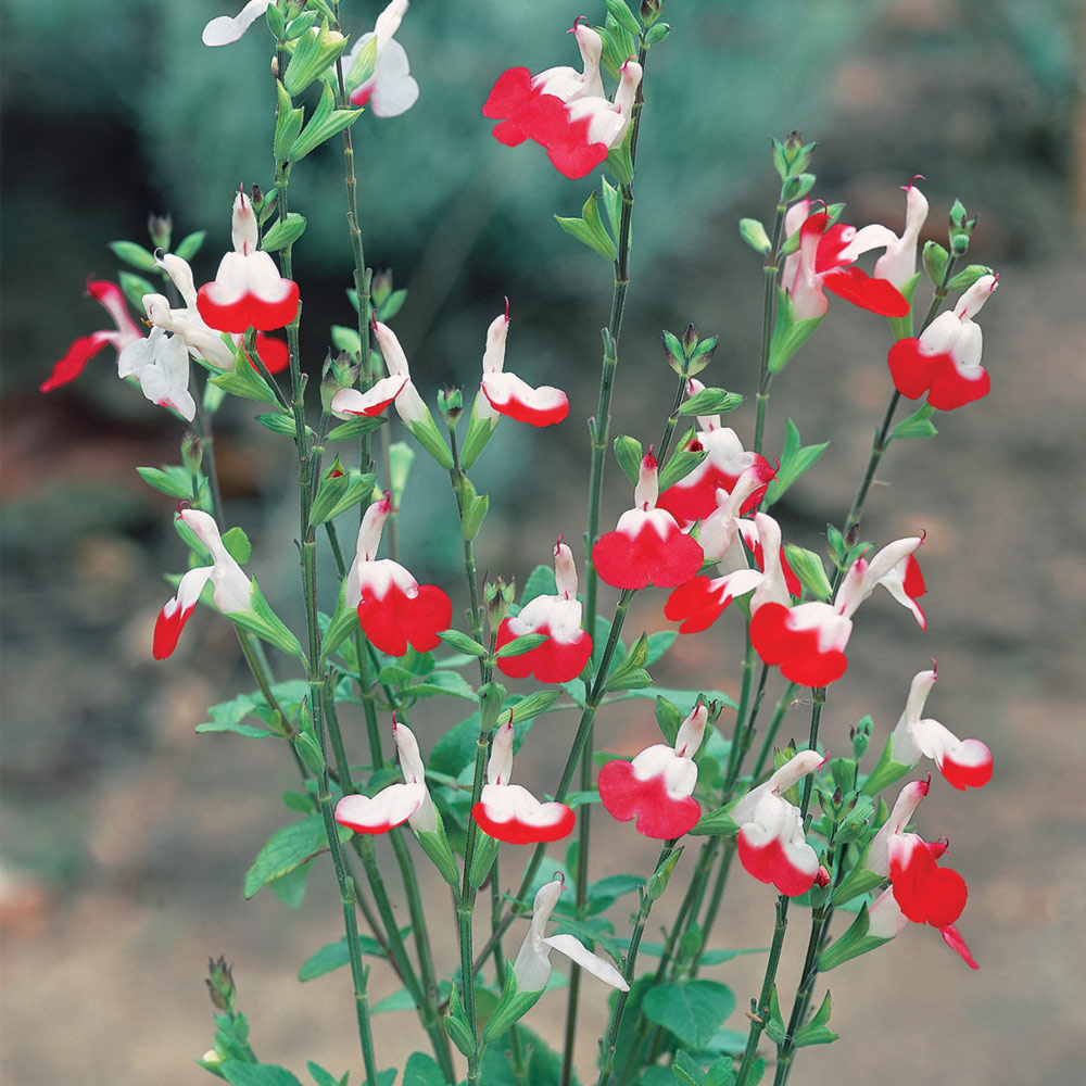 Picture of Live Salvia Hot Lips aka Salvia x jamensis 'Hot Lips' Plant Fit 1QRT Pot