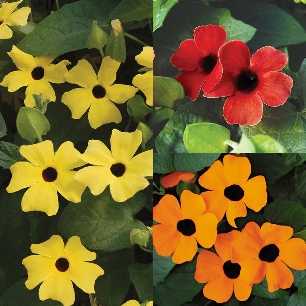 Thunbergia Climbing Collection J Parker Dutch Bulbs