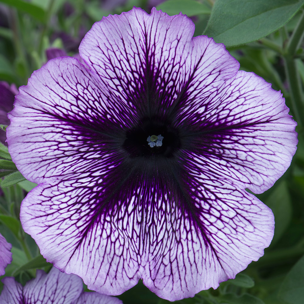 Petunia Titan Giant Purple Star J Parker Dutch Bulbs