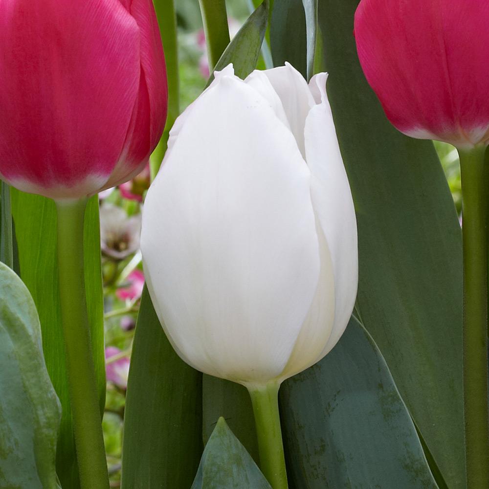 tulipe white marvel