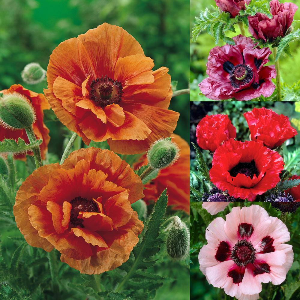 Buy Oriental Poppy Collection J Parker Dutch Bulbs