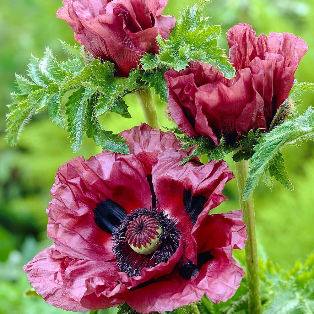 Buy Oriental Poppy Collection | J Parker Dutch Bulbs